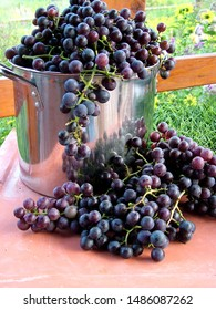 Vertical image of a stainless steel cooking pot overflowing with 'Concord' grapes (Vitis labrusca 'Concord'), with more in front, on a terra cotta table