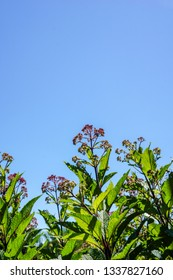 Vertical image of the stems, leaves, and flowers of Joe-Pye weed (Eutrochium maculatum, formerly known as Eupatorium maculatum) against a cloudless blue sky, with copy space