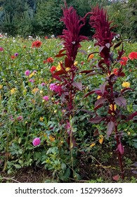 Vertical image of two purple amaranth plants standing tall against a meadow of dahlias and other jewel-colored flowers.