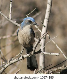 vertical image of western scrub jay or Aphelocoma californica perched on a branch