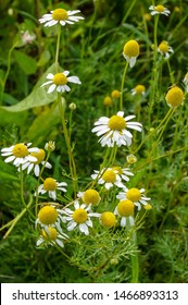 Vertical image of the white daisy-form flowers of 'Zloty Lan' German chamomile (Matricaria recutita 'Zloty Lan')