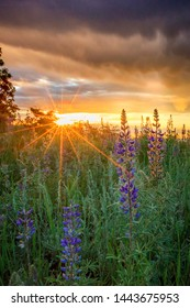 Vertical lupine sunrise in the Wasatch Mountains, Utah, USA.