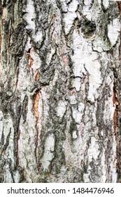vertical natural background - bark of mature pine tree (scotch fir, pine-tree) close-up
