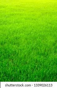 The vertical natured green grass golf field textured paper background