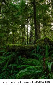 VERTICAL: Old tree chopped down deep in the Hoh Rainforest is covered by lush green moss and surrounded by ferns. Scenic shot of moss covered forest on the temperate weathered Olympic Peninsula.