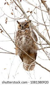 vertical orientation close up color image of a great owl with yellow eyes, in the branches of a tree, with white background