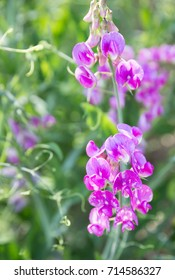 vertical orientation close up color image of sweet peas growing wild on a hillside near Kootenay Bay, British Columbia, Canada / Sweet Peas in British Columbia
