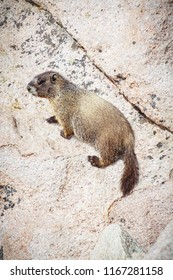 vertical orientation color close up image of a yellow bellied marmot in the Colorado rocky mountains