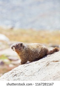 vertical orientation color close up image of a yellow bellied marmot in the Colorado Rocky Mountains, with copy space