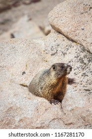 vertical orientation color close up image of a yellow bellied marmot in the rocky mountains of Colorado, USA