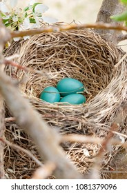 vertical orientation color image close up of a robin's bright blue eggs in a nest, in the branches of a flowering tree