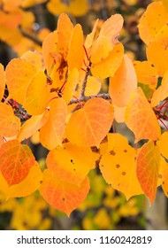 Vertical orientation color image close up of Aspen leaves in autumn
