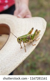 vertical orientation color image close up of a woman holding a large, green grasshopper on a cowboy hat outdoors