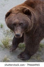 Vertical orientation color image close up of a Grizzly Bear