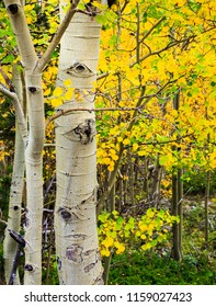 Vertical orientation color image of colorful fall leaves of Aspen in the Indian Peaks Wilderness of Colorado