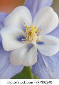 Vertical orientation color image extreme close up of rocky mountain columbine