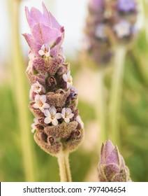 Vertical orientation color image extreme close up of lavender in bloom
