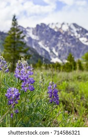 vertical orientation color image with shallow depth of field, with purple Lupine flowers in the foreground and the Tetons in the background / Lupine and Grand Teton National Park