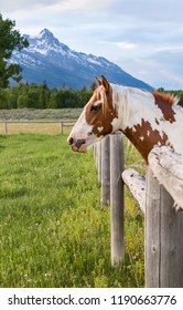 vertical orientation color image of a single multi colored horse in the foreground, with the Grand Tetons in the background