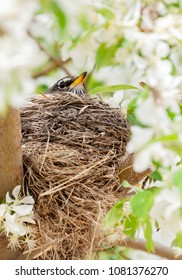 vertical orientation color image of a young robin sitting on her nest in a flowering tree in springtime