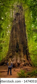 Vertical panorama of a blond woman in the Redwood Forest, California, USA.