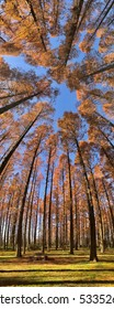 Vertical panorama of orange pine trees in a park with sunlight in autumn.