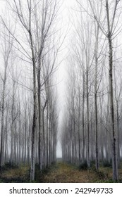 Vertical Panorama. Trees in a forest with fog, winter