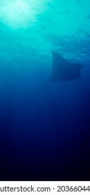 Vertical panoramic of an eagle ray silohuette in Maldives Islands with the sun behind. Myliobatis aquila