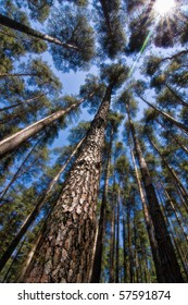Vertical perspective within a dense forest of pine trees in Transylvania (Romania).