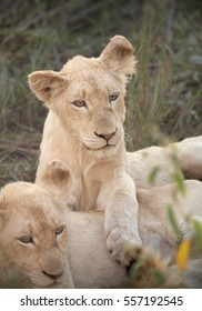 Vertical photo of adolescent white lions, rare color mutation. Southeast African lion, Panthera leo krugeri, white lions with blue eyes. White Lions of Timbavati,  Kruger area, South Africa.