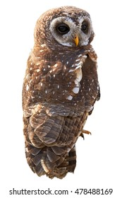 Vertical photo of  African wood owl, Strix woodfordii, isolated on white background. Smaller colourful owl, staring at camera. Close up photo. Drakensberg, South Africa.
