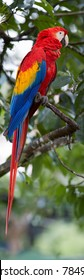 Vertical photo of Ara macao, Scarlet Macaw,  red and blue, colorful, big amazonian parrot, perched on branch. Wild animal, Costa Rica, Central America.