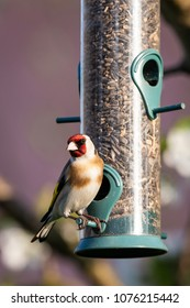 Vertical photo of colorful female goldfinch. Bird is perched on cylinder plastic feeder full of black sunflower seeds. Bird has nice white and brown chest and red and black color on head.