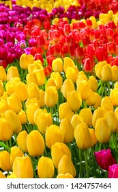 Vertical photo of colorful tulip flowers. The tulips are yellow, red and purple. Beautiful nature. Blooming park, Holland concept