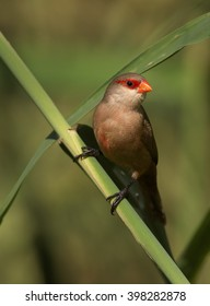 Vertical photo of Common Waxbill, Estrilda astrild, small colorful african bird with red beak and red eye stripe perched on a diagonal reed stem against blurred background. Madeira Island.
