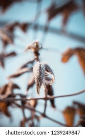 Vertical photo with detail of dry leaf of climbing plant. Leaf is almost completely covered by frost and white ice crystals. Other leaves and blue sky are in background.