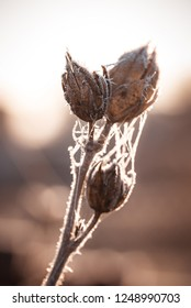 Vertical photo with dry hibiscus blooms. Blooms are brown and covered by spider webs. Frost and ice is covering stems and blooms. Plant is captured in back light.