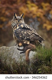 Vertical photo of Eagle Owl, Bubo bubo, giant owl  with marten prey, sitting on rock in its typical environment against distant colorful taiga background. Autumn, Finland.