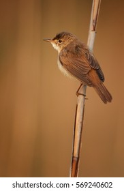 Vertical photo, Eurasian Reed Warbler, Acrocephalus scirpaceus, isolated male perched on  on reed stem in diagonal composition. Spring time, Europe, Czech republic.