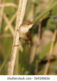 Vertical photo, Eurasian Reed Warbler, Acrocephalus scirpaceus, male perched on  on reed stem in typical environment of reedbeds. Spring time, Europe, Czech republic.