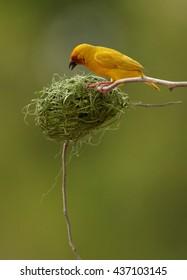 Vertical photo of exotic bird, Eastern golden weaver, Ploceus subaureus building its nest from grass fibers. Bright yellow bird is busy by weaving its nest, hanging on twig. Tanzania, Zanzibar.