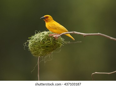 Vertical photo of exotic bird, Eastern golden weaver, Ploceus subaureus building its nest from grass fibers. Bright yellow bird is busy by weaving its nest, hanging on twig. Tanzania, Zanzibar.