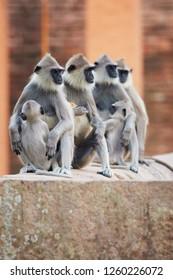 Vertical photo of family of monkeys Tufted Gray langur, Semnopithecus priam, on ruins of world heritage city of Anuradhapura, staring to the right. Against reddish Jetavanaramaya stupa, Sri Lanka