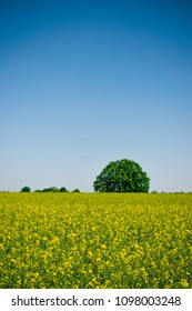 Vertical photo with field fully covered by rapeseed plants with yellow blooms. Green tree with round shape is in background. Sky is clear blue without clouds.