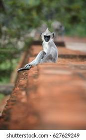 Vertical photo of Gray langur, Semnopithecus entellus, monkey baby from Sacred City,  sitting on the brick wall of Jetavanaramaya stupa. Scene from world heritage city of Anuradhapura, Sri Lanka.