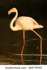 Vertical photo of  Greater flamingo, Phoenicopterus roseus lit by setting sun against dark background. Spring Camargue, France.