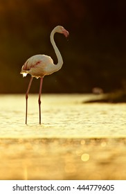 Vertical photo of  Greater flamingo, Phoenicopterus roseus in backlight against dark background. Backlit flamingo standing in gold sparkling water in spring Camargue, France.