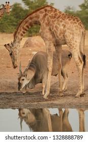 Vertical photo of huge Eland antelope,Taurotragus oryx, standing under angolan giraffe, drinking from waterhole. Animals of arid Etosha national park, Namibia.