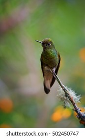 Vertical photo of hummingbird, Buff-tailed Coronet,Boissonneaua flavescens, green hummingbird, perched on mossy twig in rainforest of Rio Blanco Nature Reserve. Colombia.