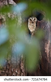 Vertical photo of Indian scops owl, Otus bakkamoena, staring from tree hollow through blurred leaves. Typical owl of dry indian forest. Scops owl in its typical environment. Ranthambore, India.